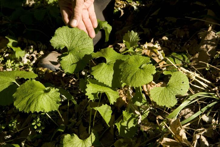 Blätter, Knoblauch, Senf, Alliaria, petiolata