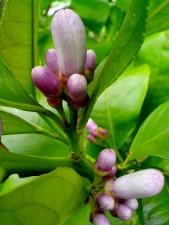 lemon, buds, leaves