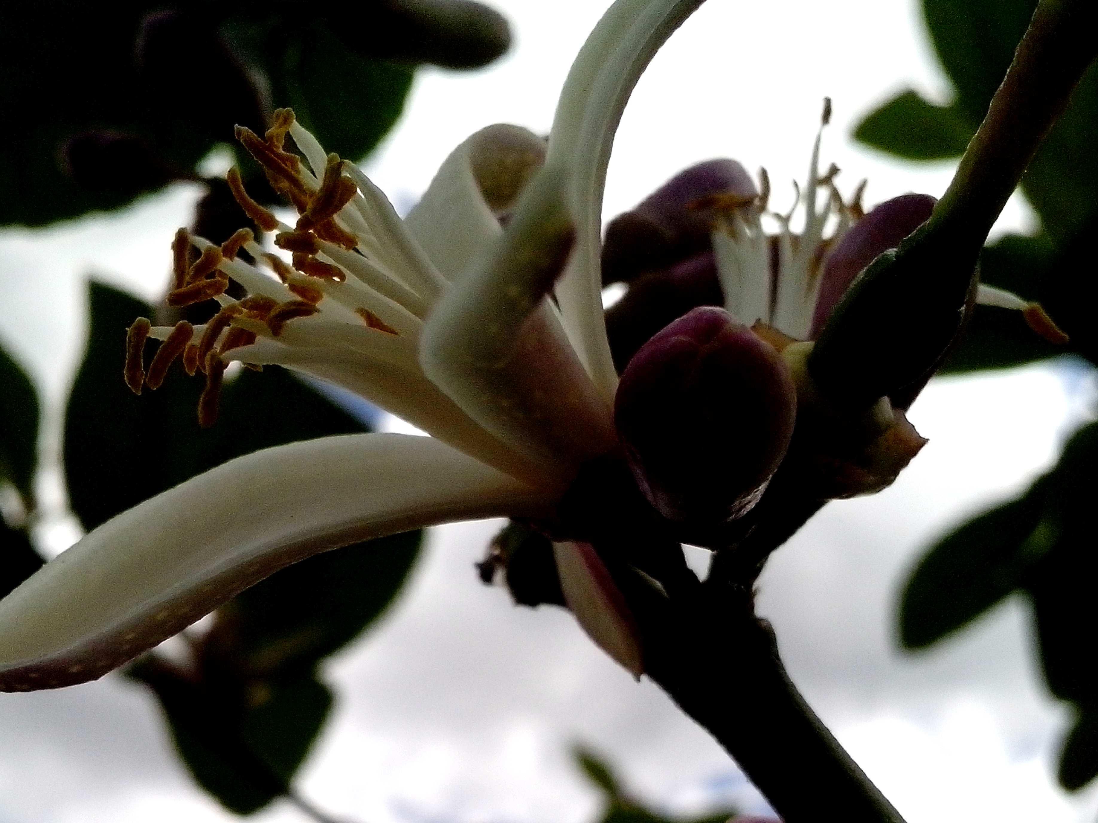 Free photograph; lemon, flower, against, sky