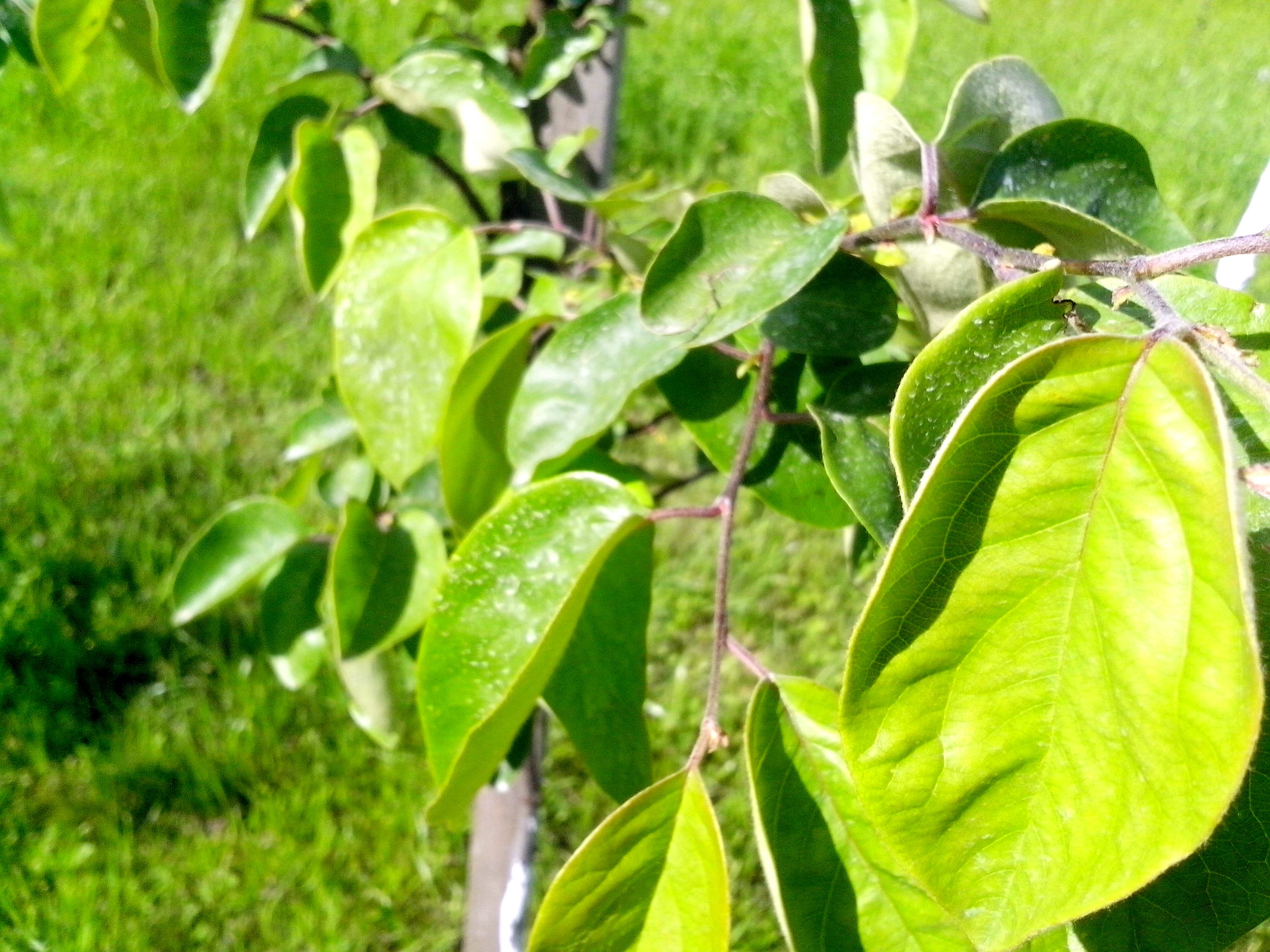 Free photograph; light, green, leaves, quince, fruit