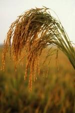 long, grain, rice