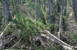 lygodium, plants, lying, ground