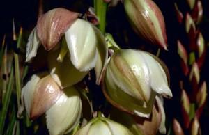 étroite, feuille, yucca, plante, botanique, plante