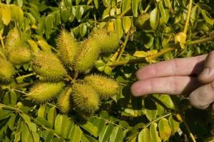 nicker, bean, plant, canna, flaccida, native, invasive, plat