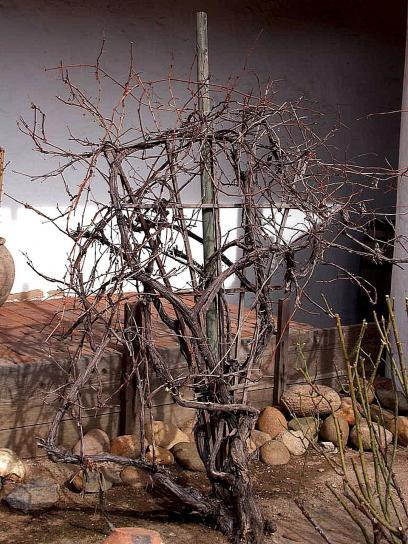 old, grape, vines
