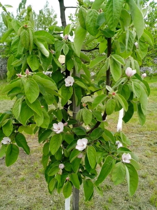organic, quince, white flowers, green leaves, tree, orchard