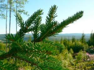 pine, branch, tree
