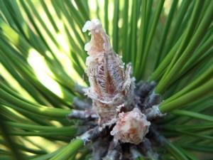 pine, tree, bud