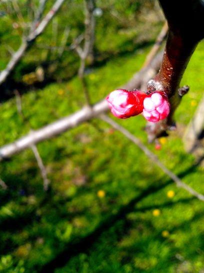 pink, apple, bud