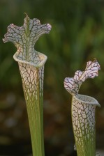 pitcher, crimson, anlegg, sarracenia leucophylla