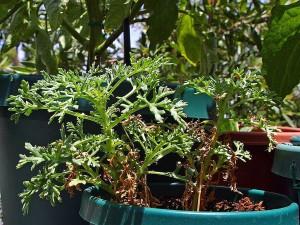 tanaman, hijau