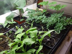kasvit, kukkaruukku