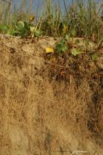 植物の保護、海岸侵食