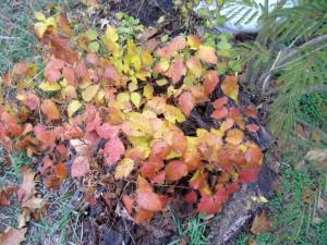 racun, ivy, tanaman, radicans, toxicodendron