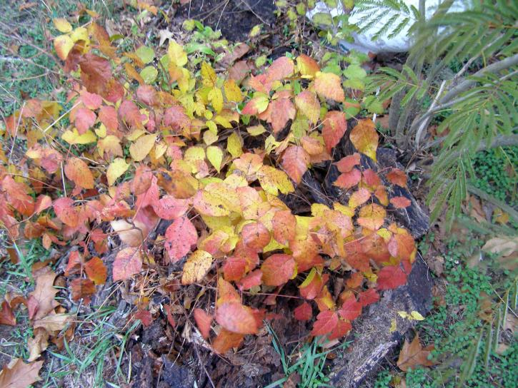 Poison ivy kasvi, toxicodendron radicans