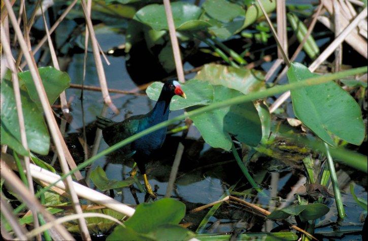 สีม่วง gallinule, porphyrula, martinica นก เดิน พืช น้ำ