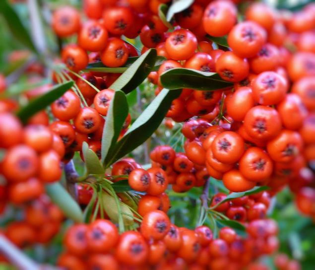 pyracantha, quả mọng, thực vật