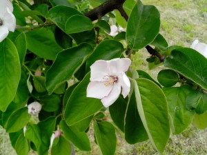 quince, fruit, bloom, organic
