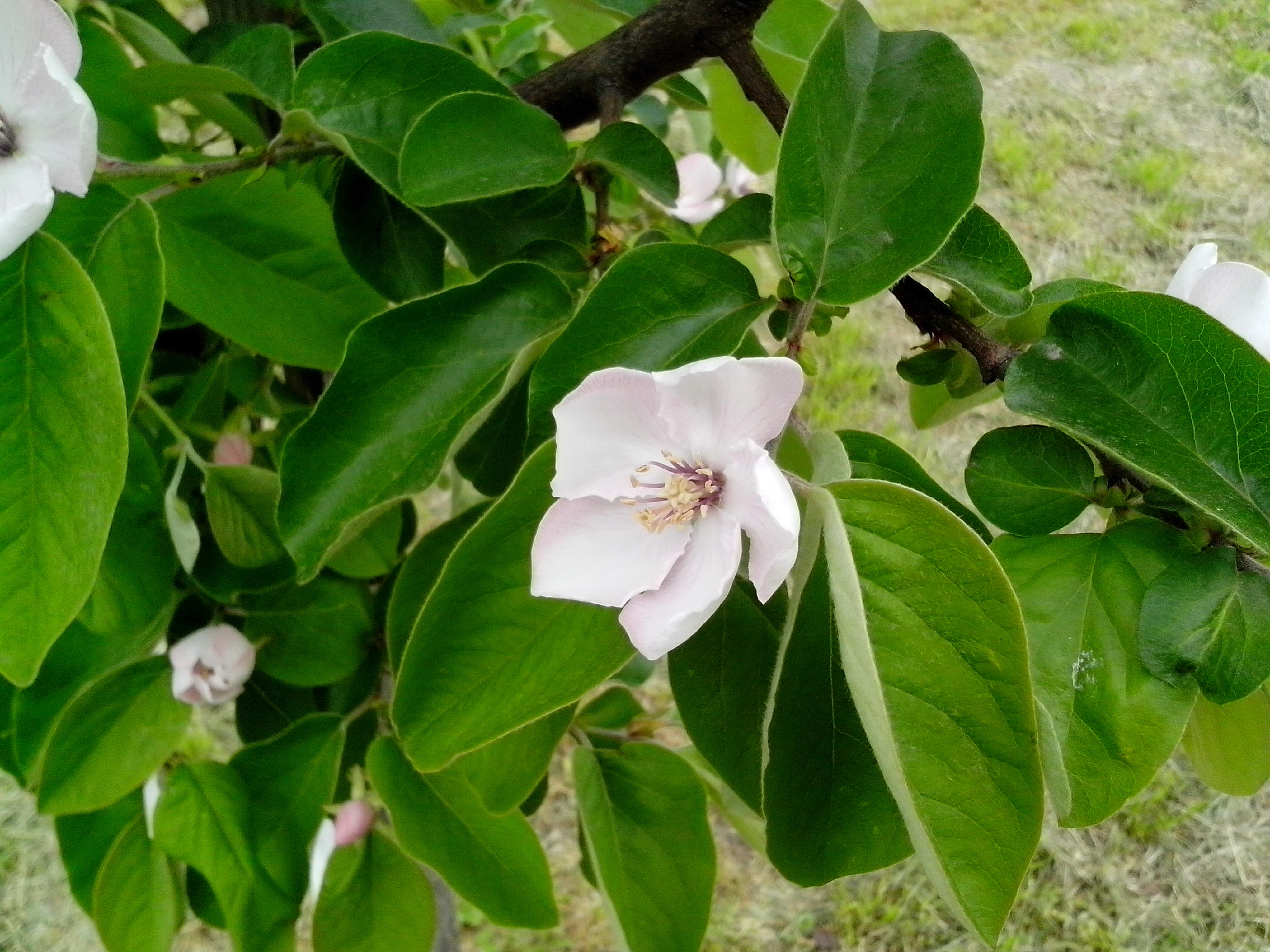 Free photograph; quince, fruit, bloom, organic