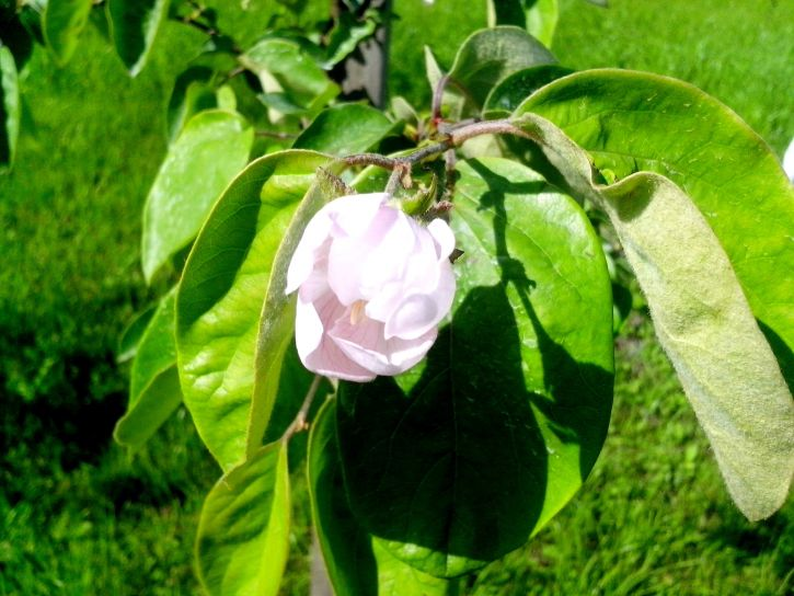 quince, tree, blooming