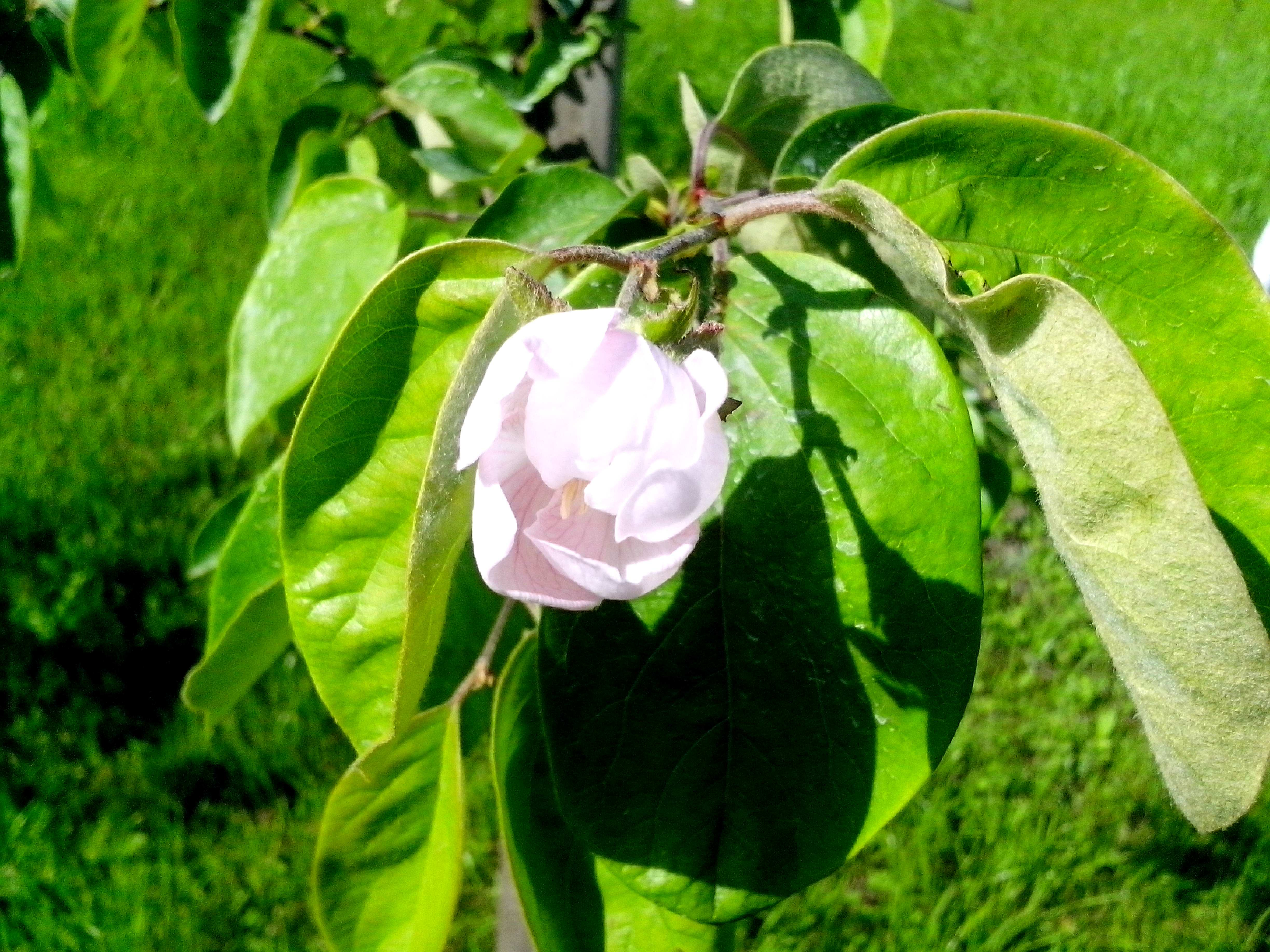Free photograph; quince, tree, blooming