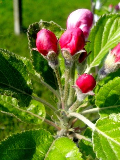 red, apple, buds, ready, flowering