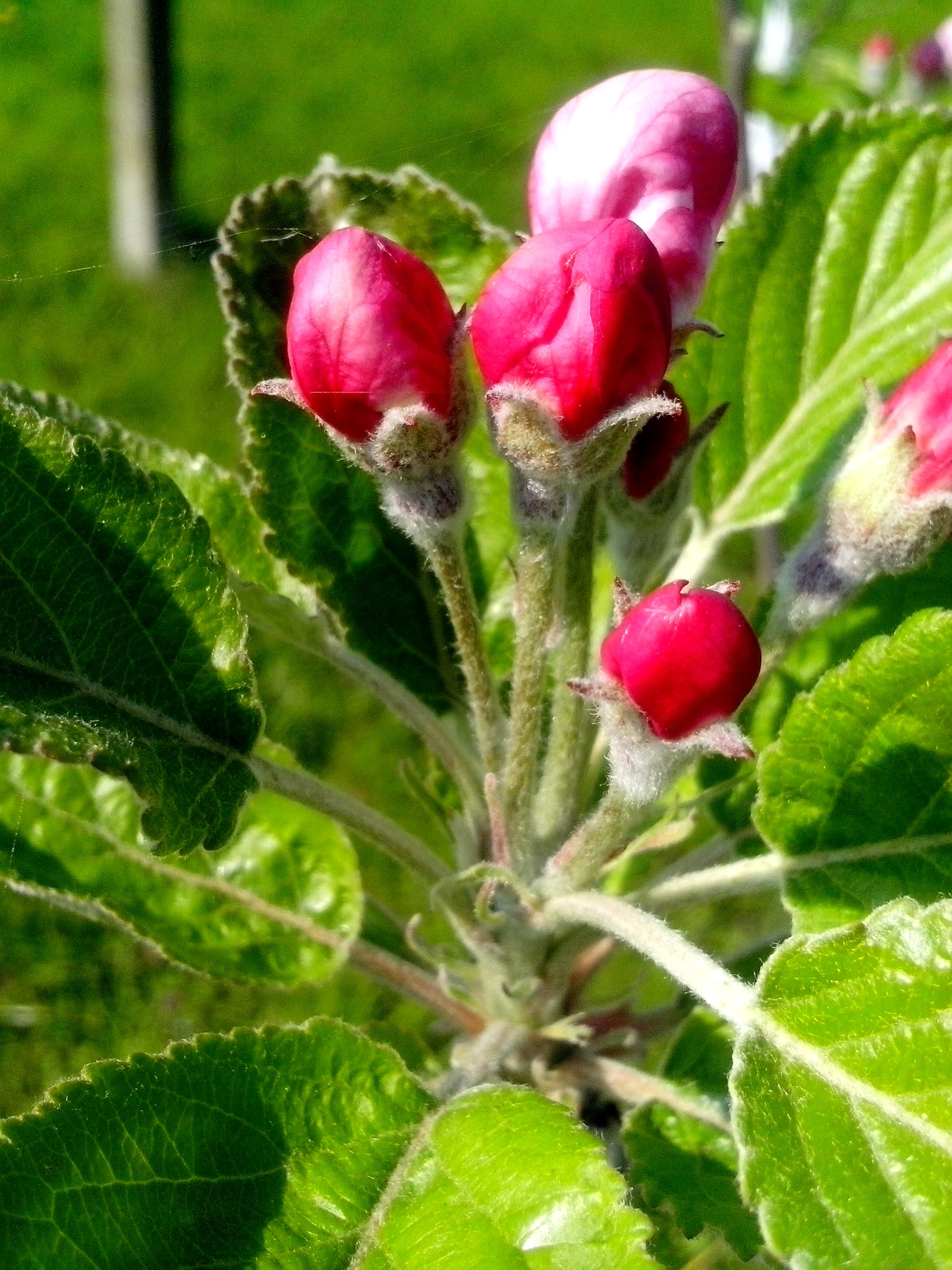 Free photograph; red, apple, buds, ready, flowering