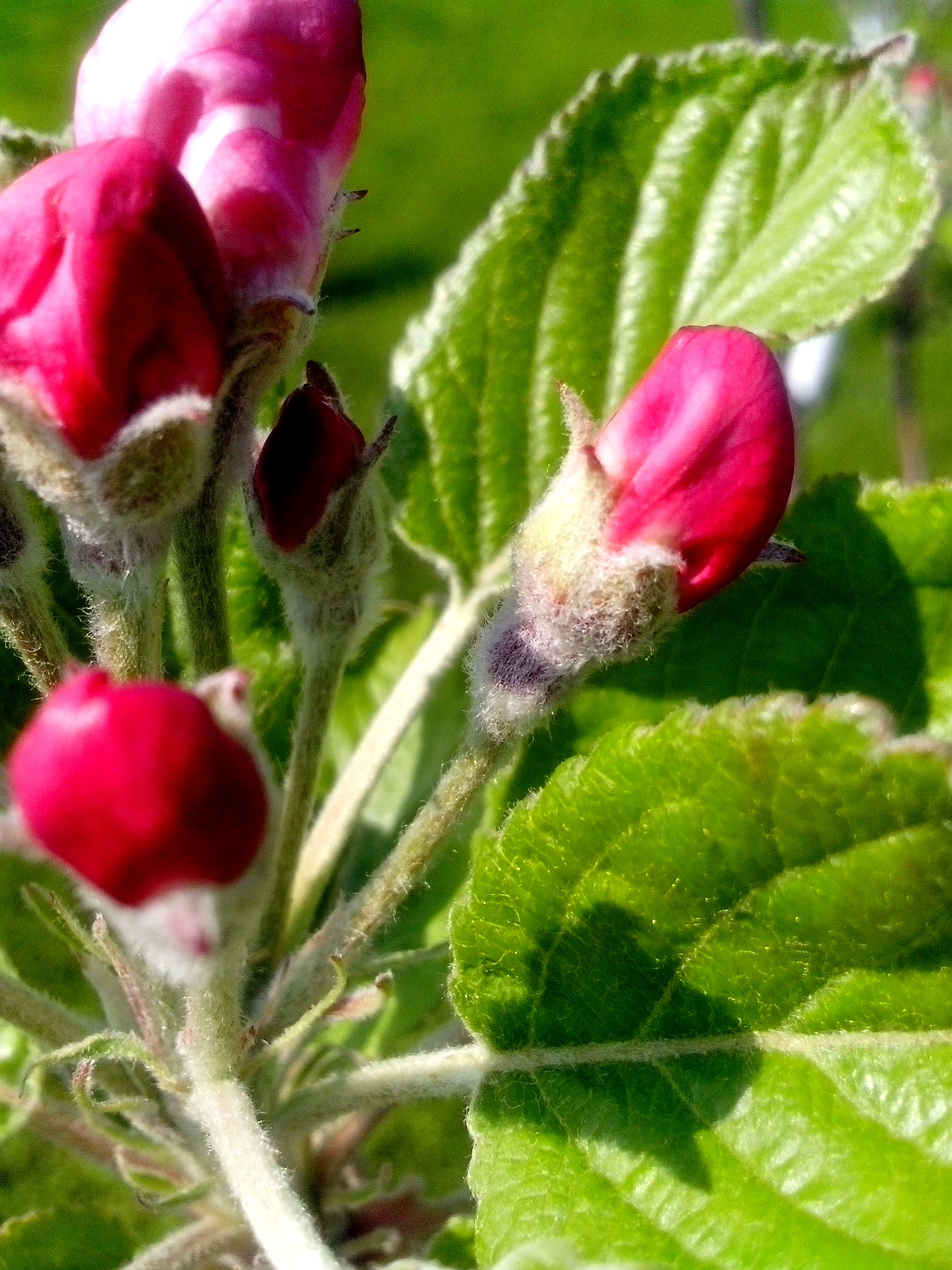 Free photograph; red, buds, ready, flowering