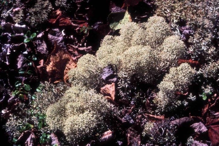 олени, Карибу, мох, лишайник, растений, Кладония, оленья
