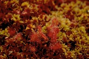 rotund, frunze, sundew, drosera, rotundifolia