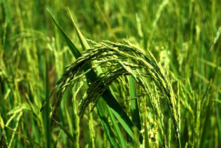 green plant, rice, farming, field, agriculture, agronomy