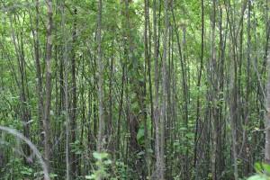 ungt træ, krat, porongurup