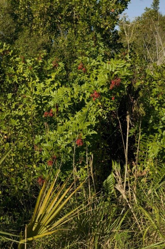 schinus, terebinthifolius, brazilian, papper, plant, tree