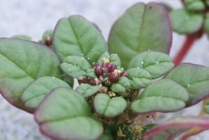 amaranth, Seabeach, pumilus, amaranthus, kukka