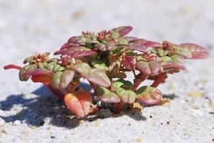 Seabeach, amaranth, växt, amaranthus, pumilus