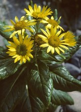 Seabeach senecio kasvi, kellertävä, kukka, senecio, pseudoarnica