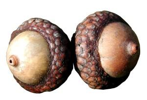 acorn, oak, nut, gall, pannage, mast, nutgall, plant, flora