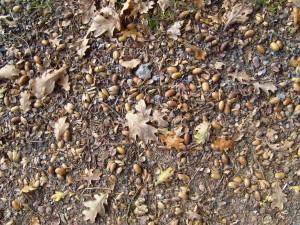 acorns, tree
