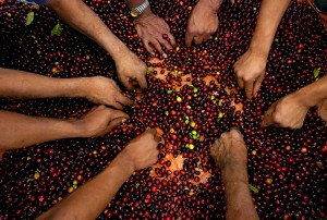 Poljoprivredno, programe, projekte, pomoći, kava, poljoprivrednika, uzgoj, žetve