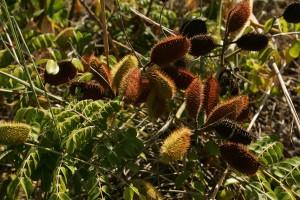 de près, les graines, les gousses, pointu, barbes, feuilles