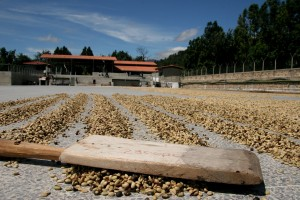 jacobos, board, drying, coffee, beans, Finca, Medina, Guatemala