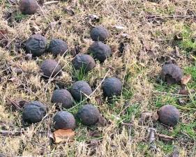 ripe, walnuts, fallen, tree, lying, ground