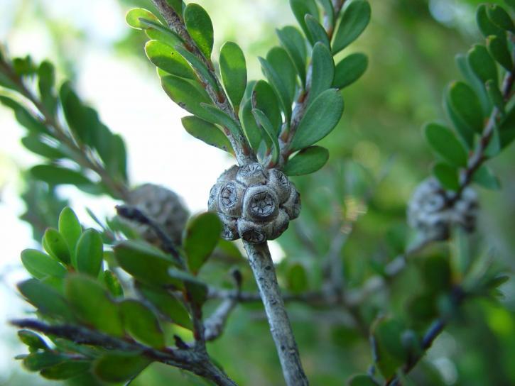 seed, pod, stem, bush