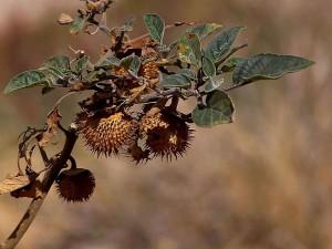 thorny, seed, pod