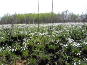 spring, cotton, grass, eriphorum