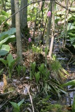 swamp, pink, growing, wetland, habitat, helonias, bullata