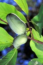 papayer, arbre, asimina, triloba