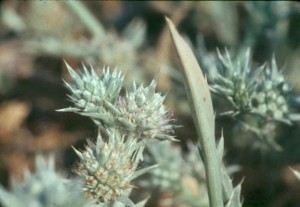 chardon, plante, flore, eryngium, racemousm