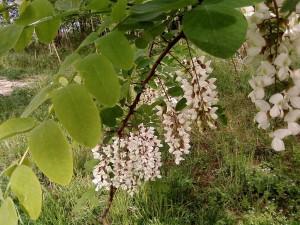 flowered, wild, acacia, tree, park