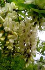 Locust tree, blomster